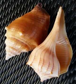 Two of our favorites from the day. Left-Conch, right-Whelk