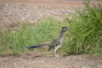 Finally a picture of a roadrunner.