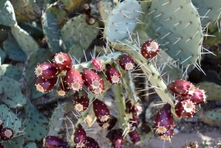 Prickly Pear and their fruit.