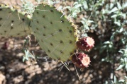 Fruit of the Prickly Pear