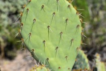 Close up of Prickly Pear