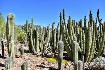 Organ Pipe and Saguaro