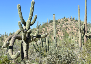 A gnarled bunch of saguaro arms.
